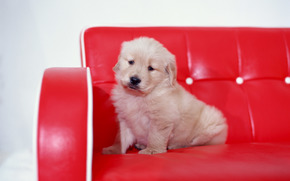 dog, puppy, sofa, red