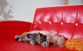 dog, puppy, sofa, red, cat, kitten, sleep