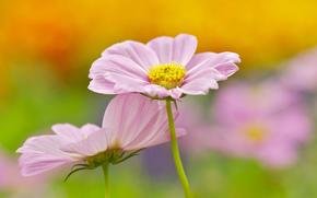 цветы, цветок, космея, космеи, флора, растения