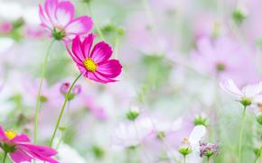 Fleurs, fleur, kosmeya, cosmos, flore, plantes