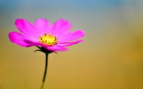 Kwiaty, kwiat, kosmeya, kosmos, flora, rośliny