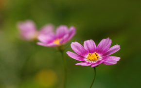 Fiori, fiore, Kosmeya, cosmo, flora, piante