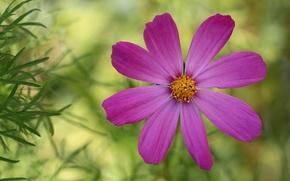 Flores, flor, Kosmeya, cosmos, flora, plantas