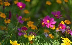 花卉, 花, kosmeya, 宇宙, 植物群, 植物