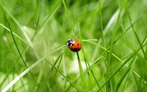 grass, ladybug, Macro