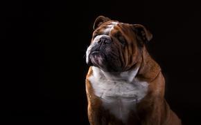 Buldog angielski, buldog, pies, portret, czarne tło