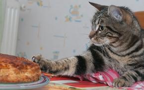 COTE, gatto, torta