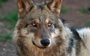 lupo, predatore, visualizzare