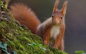 scoiattolo, Redhead, muschio