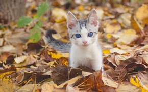 gattino, bambino, gli occhi azzurri, visualizzare, fogliame, autunno