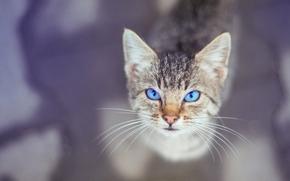 gattino, museruola, gli occhi azzurri, baffi, visualizzare, bokeh