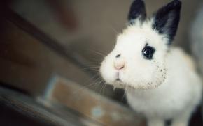 кролик, мордашка, щёки