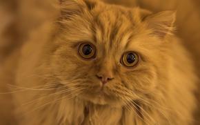 cat, COTE, Red, muzzle, mustache, enormous eyes, view