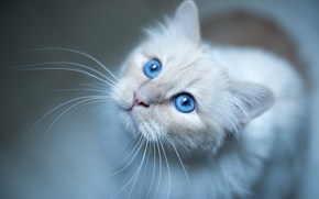 Burmese, cat, muzzle, blue eyes, mustache, view