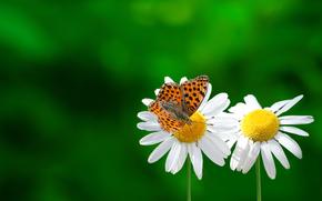 ромашки, бабочка, макро