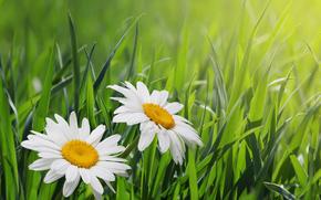 field, grass, Chamomile, Macro