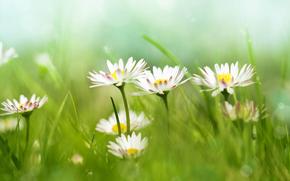 field, grass, Chamomile, Flowers, Macro