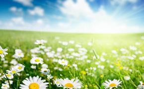 поле, трава, ромашки, цветы, макро