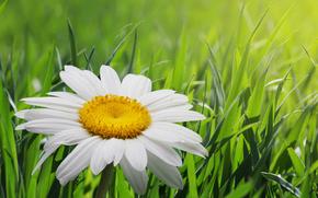 field, grass, camomile, Macro