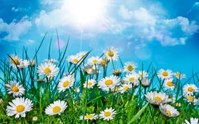 поле, цветы, ромашки, макро