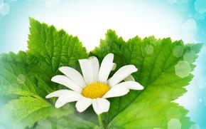 flower, camomile, Macro
