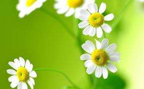 花卉, 甘菊, 宏