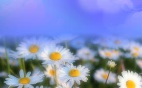 ромашки, цветы, флора, макро