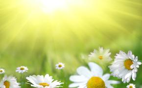 поле, ромашки, цветы, флора, макро