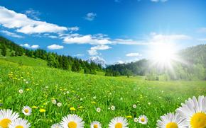 field, Chamomile, Flowers, flora, Macro