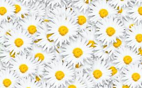 цветы, ромашки, цветочный фон
