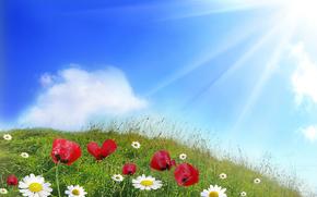 цветы, ромашки, маки