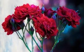 Zweig, Roses, Blumen, flora