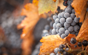grapes, foliage, Macro