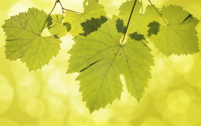 grape leaves, nature, Macro