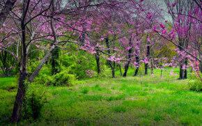 foresta, parco, radura, alberi, PRIMAVERA, fioritura, paesaggio