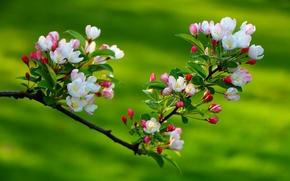 Kirsche, Zweig, Blumen, flora