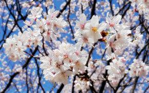 cereza, rama, Flores, flora