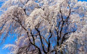 cereza, RAMA, árbol, Flores, flora