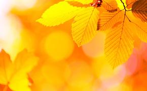 otoño, follaje, Macro, naturaleza