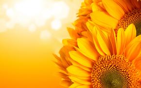 подсолнухи, цветы, флора