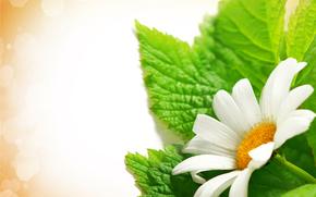 цветы, ромашки, флора