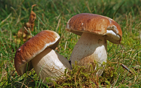 grass, forest, autumn, mushrooms, cep, nature