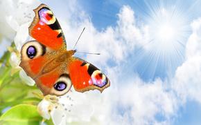 farfalla, cielo, Macro