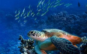 mare, pesce, tartaruga, Marino, fondo, natura