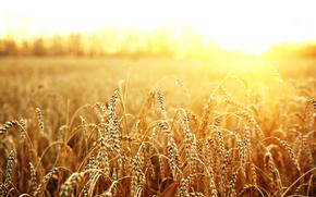 field, ears of corn, Macro