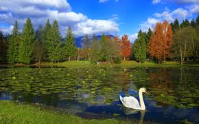 озеро, парк, деревья, лебедь