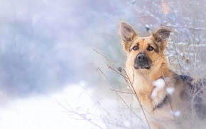 dog, shepherd, view, winter