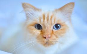 COTE, gatto, museruola, visualizzare, gli occhi azzurri