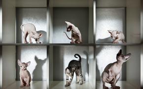 COTE, gatto, gatto, sfinge, sfondo nero, Gattini, gattino