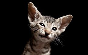COTE, kot, kot, sfinks, czarne tło, Kocięta, kotek